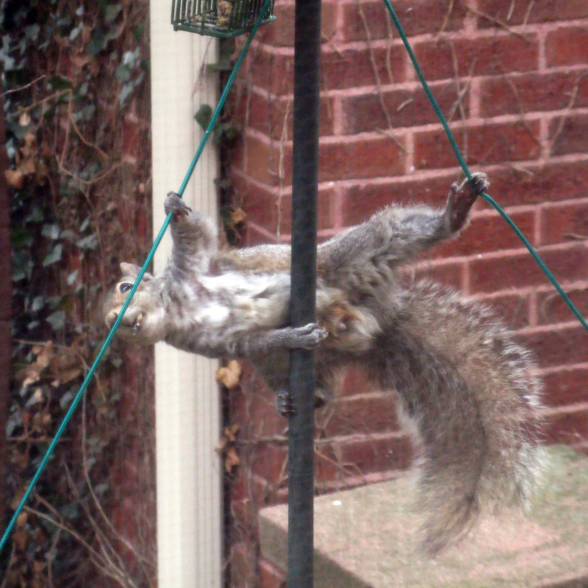 Squirrel attempting to defeat my feeder
