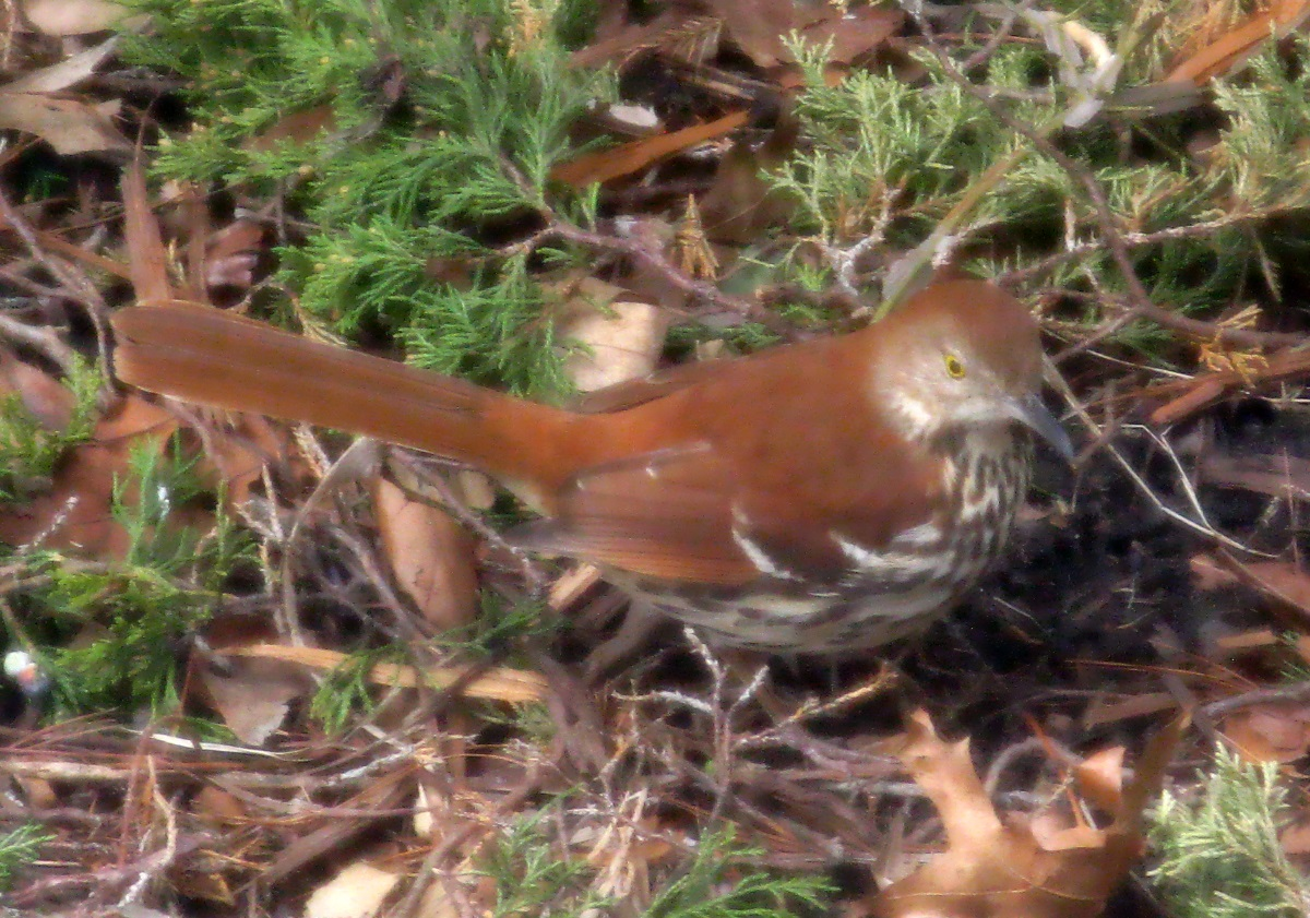 Brown thrasher photo